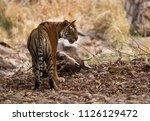 tigress noor with kill ... | Shutterstock . vector #1126129472