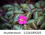 dainty pink flower covered in... | Shutterstock . vector #1126189205