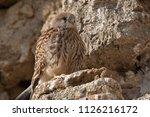 lesser kestrel  female  falco...   Shutterstock . vector #1126216172