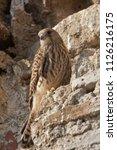 lesser kestrel  female  falco...   Shutterstock . vector #1126216175