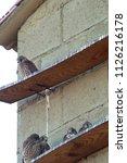 lesser kestrel  breeding  falco ...   Shutterstock . vector #1126216178