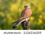 lesser kestrel  male  eating a...   Shutterstock . vector #1126216205