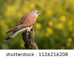 lesser kestrel  male  eating a...   Shutterstock . vector #1126216208
