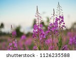 pink ivan tea or blooming sally ... | Shutterstock . vector #1126235588
