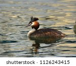 The Great Crested Grebe ...