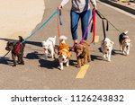 Stock photo professional female dog walker walking a pack of small dogs on park trail 1126243832