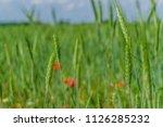 field of unripe green wheat... | Shutterstock . vector #1126285232
