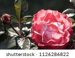 flowering noble nostalgia | Shutterstock . vector #1126286822
