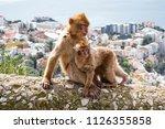gibraltar apes    barbary... | Shutterstock . vector #1126355858