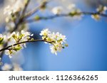 blooming branch. spring flowers | Shutterstock . vector #1126366265