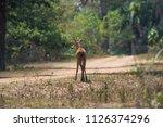 marsh deer  blastocerus...   Shutterstock . vector #1126374296