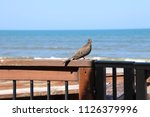 mourning dove bird perched on... | Shutterstock . vector #1126379996