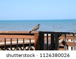 mourning dove bird perched on... | Shutterstock . vector #1126380026