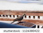mourning dove bird perched on... | Shutterstock . vector #1126380422