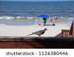 mourning dove bird perched on... | Shutterstock . vector #1126380446