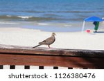 mourning dove bird perched on... | Shutterstock . vector #1126380476