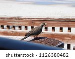 mourning dove bird perched on... | Shutterstock . vector #1126380482
