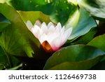 nymphaea   water lilies   ... | Shutterstock . vector #1126469738