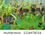 insectivorous plant ...   Shutterstock . vector #1126478216