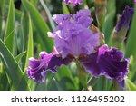 Iris In The Garden   Iris...