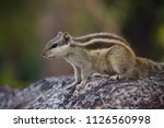 A Palm Squirrel Sitting On The...