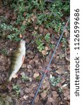 autumn perch from river among... | Shutterstock . vector #1126599686