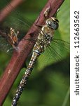 Small photo of Migrant Hawker Dragonfly - Aeshna mixta Adult Female