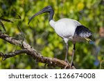 Australian white ibis / black-headed ibis perched on a tree branch. Threskiornis molucca.