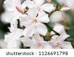 white oleander flowers | Shutterstock . vector #1126691798