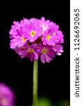 verbena flowers. pink bulb...