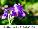 blooming aquilegia  aquilegia... | Shutterstock . vector #1126766186