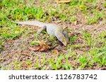 varanus lizard in the... | Shutterstock . vector #1126783742