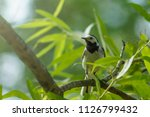 wagtail on branch with leaves...   Shutterstock . vector #1126799432