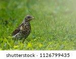 thrush bird on grass light...   Shutterstock . vector #1126799435