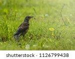 thrush bird on grass light...   Shutterstock . vector #1126799438