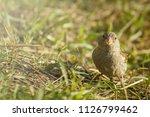 sparrow feeding in sunny summer ...   Shutterstock . vector #1126799462