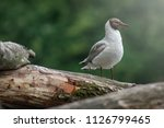 grey molt gull in spring light...   Shutterstock . vector #1126799465