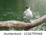 grey gull in summer light...   Shutterstock . vector #1126799468