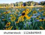 Field Of Wildflowers. Rudbecki...