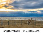 guanaco seeing the sunset at... | Shutterstock . vector #1126887626