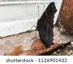 butterfly on window  | Shutterstock . vector #1126901432