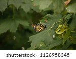 A Monarch Butterfly Rests In A...