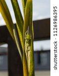close up of a grasshopper... | Shutterstock . vector #1126986395