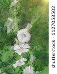 white marshmallow flower. marsh ...   Shutterstock . vector #1127053502