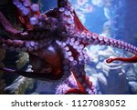 close up on live octopus in the ... | Shutterstock . vector #1127083052