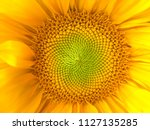 Small photo of Sunflower natural background. Sunflower blooming. Close-up of sunflower. Sunflowers symbolize adoration, loyalty and longevity.