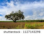 A lone tree sits in a sugar cane field in New Iberia, Louisiana