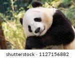relaxed panda bear | Shutterstock . vector #1127156882