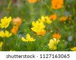 cosmos sulphureus  mexican... | Shutterstock . vector #1127163065