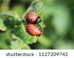 the larva of the colorado...   Shutterstock . vector #1127209742